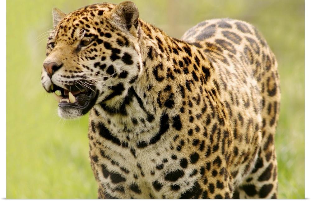 Poster Print Wall Art entitled A Leopard