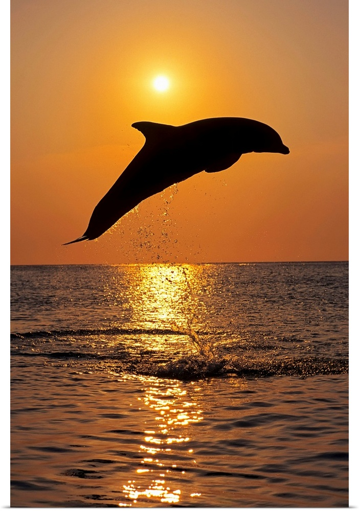 Poster Print Wall Art entitled Bottle Nose Dolphin Jumping at Sunset, Roatan,