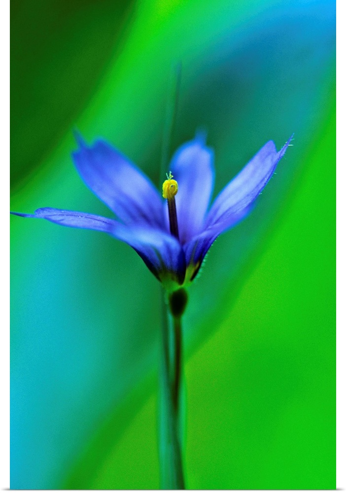 Poster Print Wall Art entitled Common blu Eyed Grass