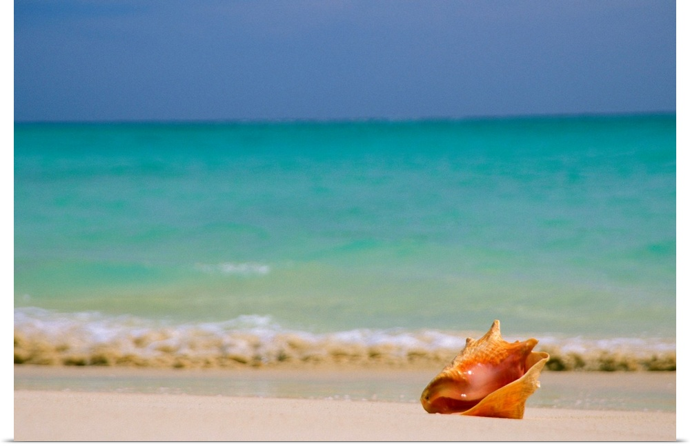 Poster Print Wall Art entitled Conch Shell Along Shoreline,  Turquoise Ocean In