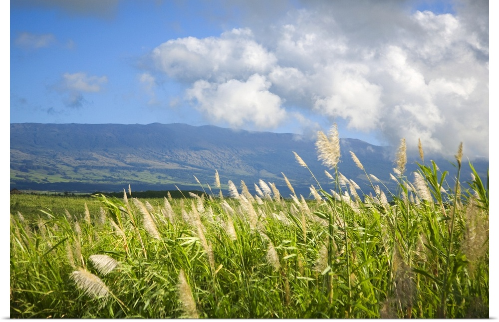 Poster Print Wall Art entitled Grasses In A Peaceful Pasture, Hawaii