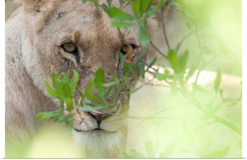 Poster Print Wall Art entitled Lioness, Kenya, Africa