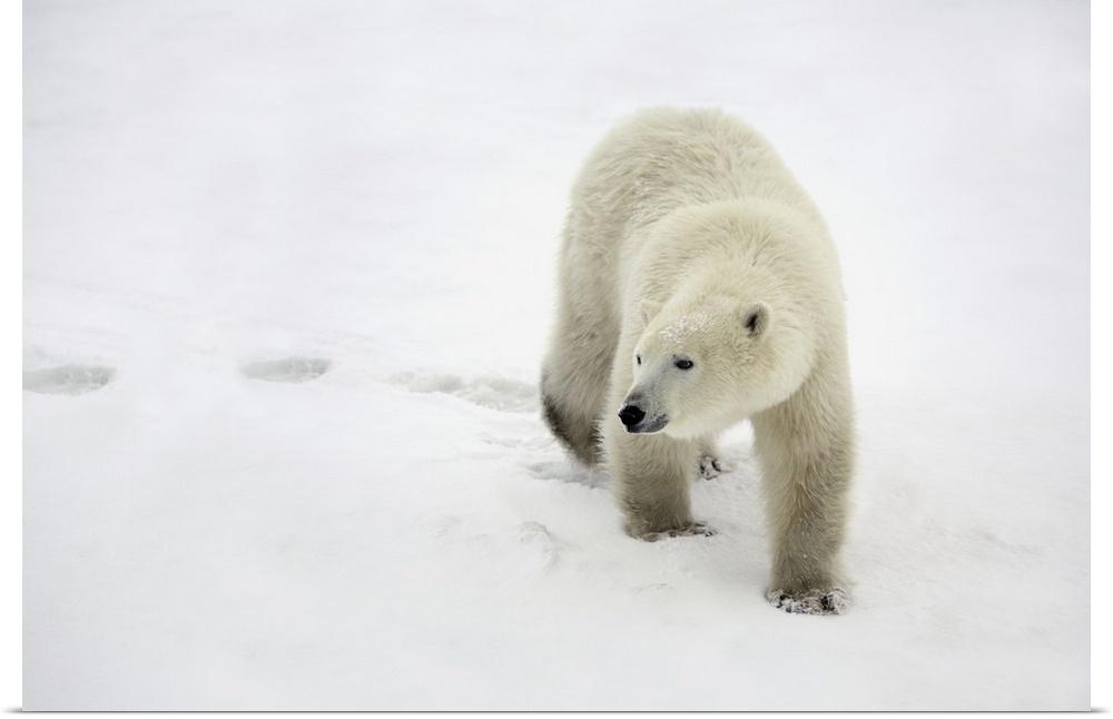 Poster Drucken  Polar Bear WalKönig