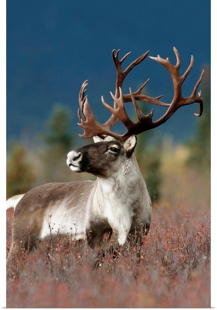 Poster Print Wall Art entitled Portrait Of Bull Caribou, Denali National Park,