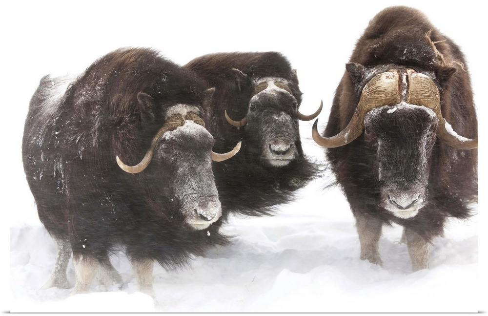 Poster Print Wall Art entitled Three Musk Ox stand in deep snow during a winter