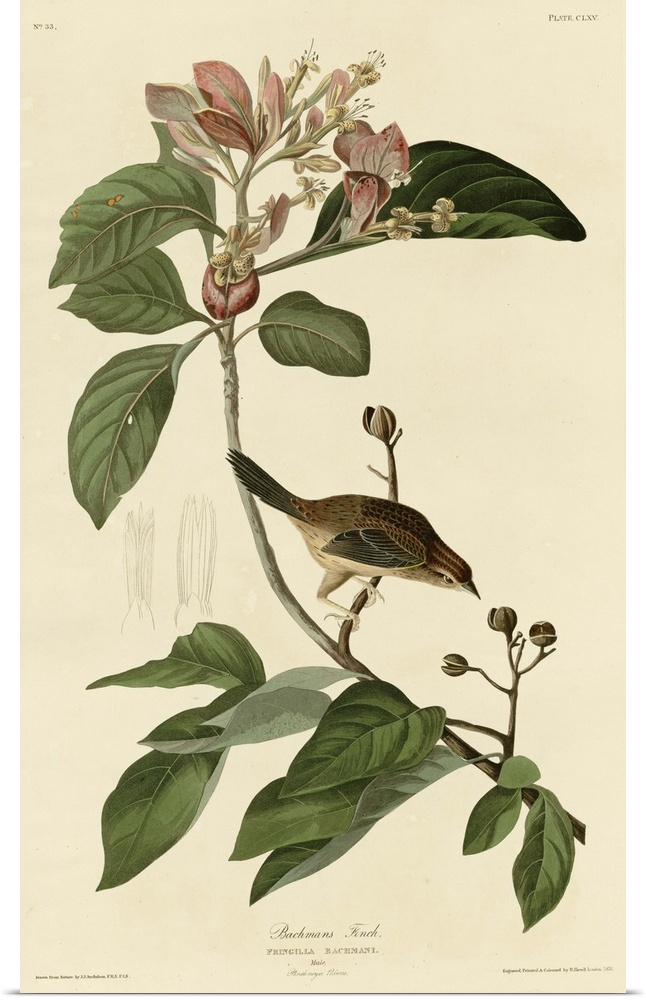 Poster Print Wall Art entitled Bachman's Finch