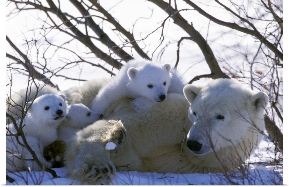 Poster-Print-Wall-Art-entitled-Canada-Manitoba-Churchill-Polar-Bear-and-cubs