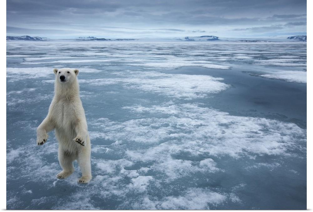 Poster Print Wall Art entitled Polar Bear, Svalbard, Norway