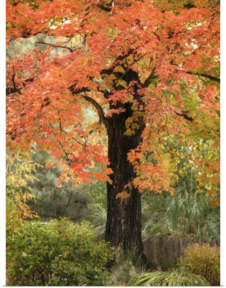 Poster Print Wall Art entitled Fall Maple Fever III