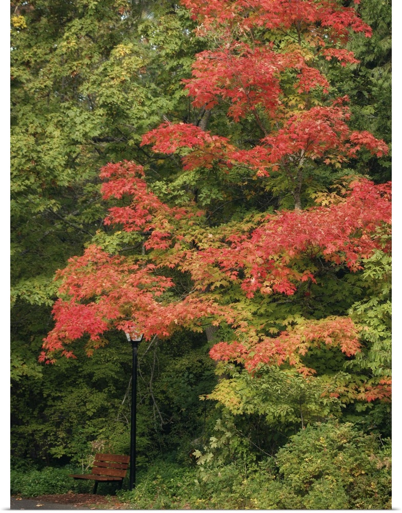 Poster Print Wall Art entitled Fall Maple Fever VIII