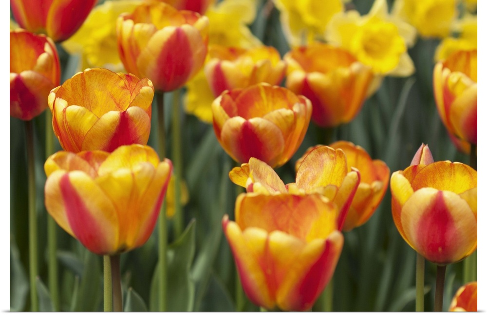 Poster Print Wall Art entitled Tulip March I