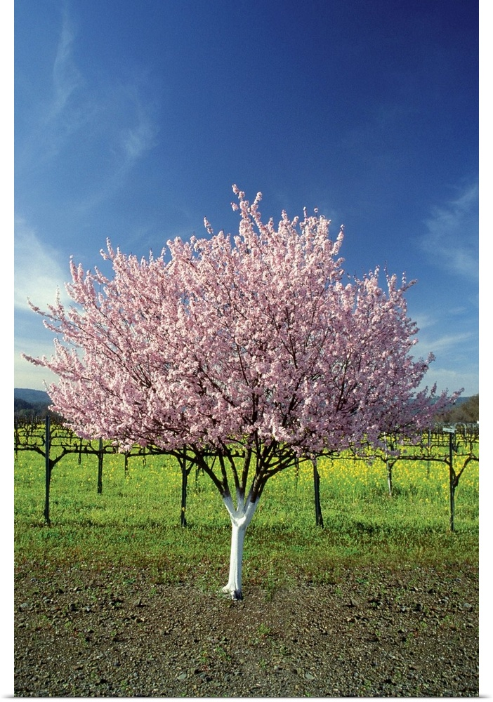 Poster Print Wall Art entitled Apple tree in a field, Napa Valley, California,