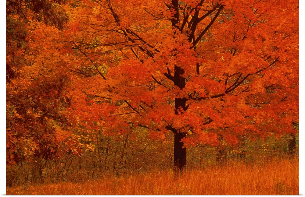 Poster Print Wall Art entitled Autumn tree with rosso foliage