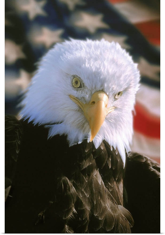 Poster Print Wall Art entitled Bald eagle and American flag