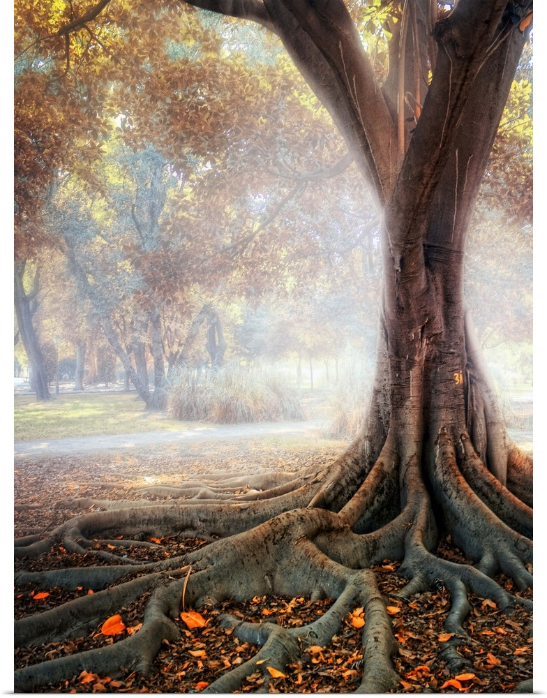Poster Print Wall Art entitled Big tree root in fog.