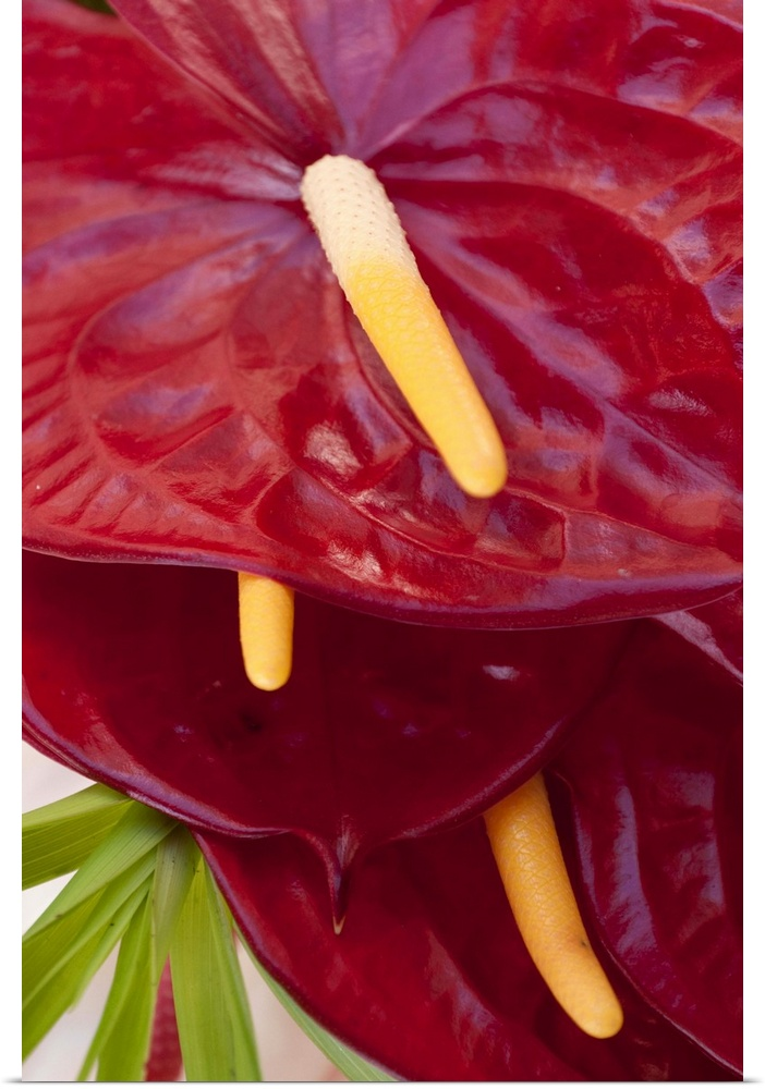 Poster Print Wall Art entitled Bright rosso anthurium flowers at a farmer's market