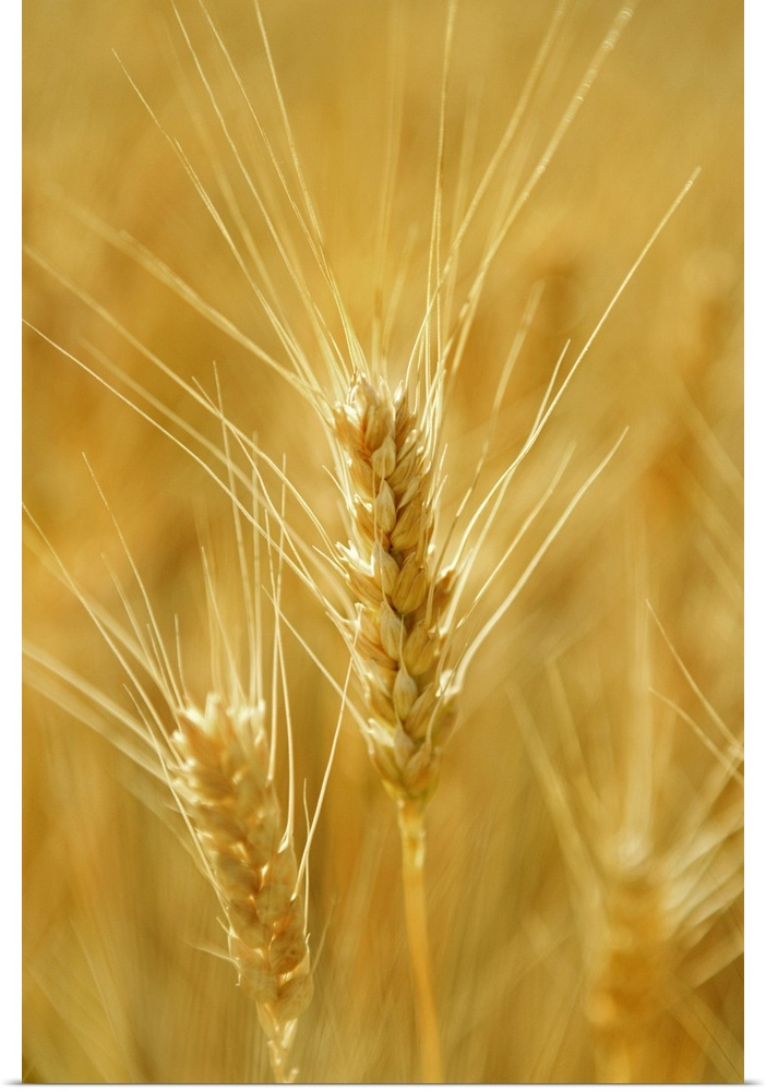 Poster Print Wall Art entitled Close-up of wheat