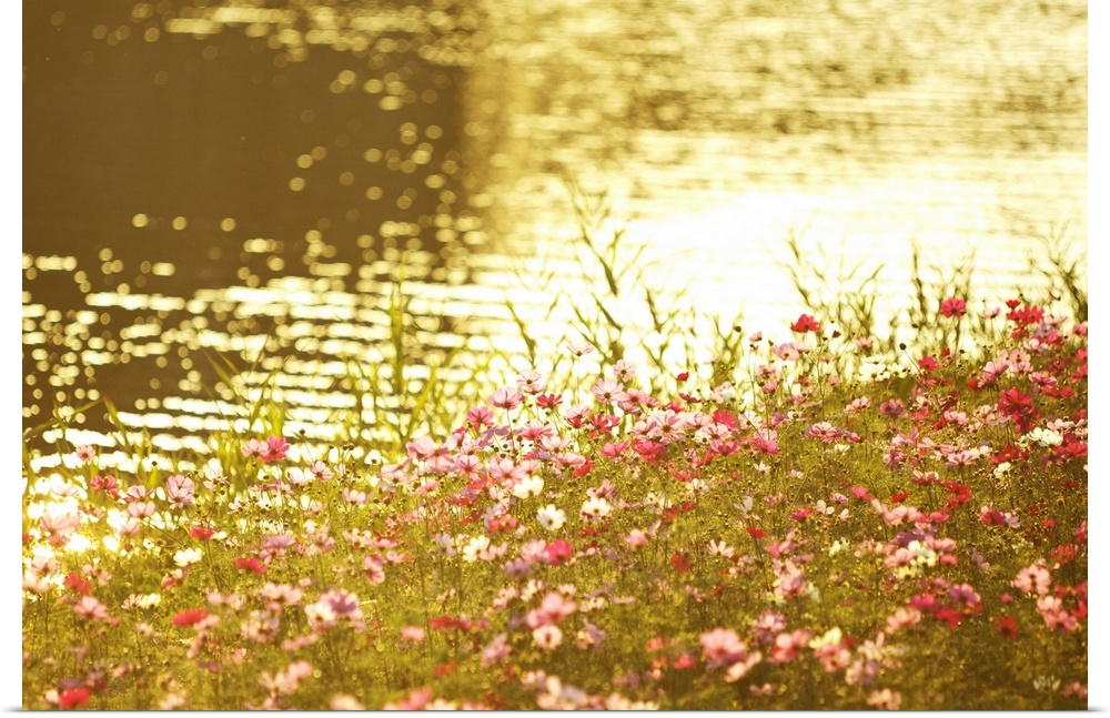 Poster Print Wall Art entitled Cosmos Flowers by River