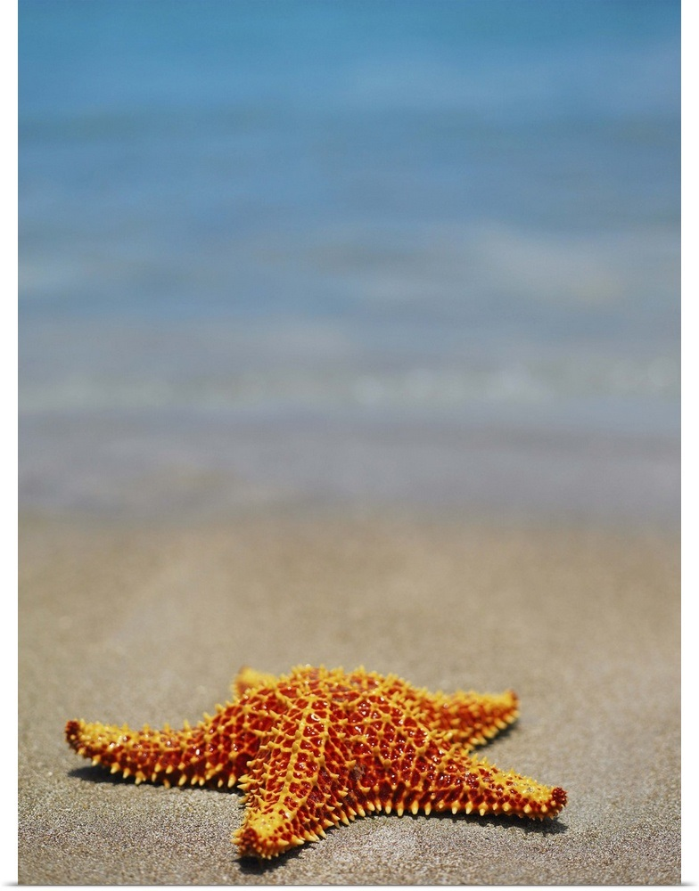 Poster Print Wall Art entitled Cushion Starfish  on the