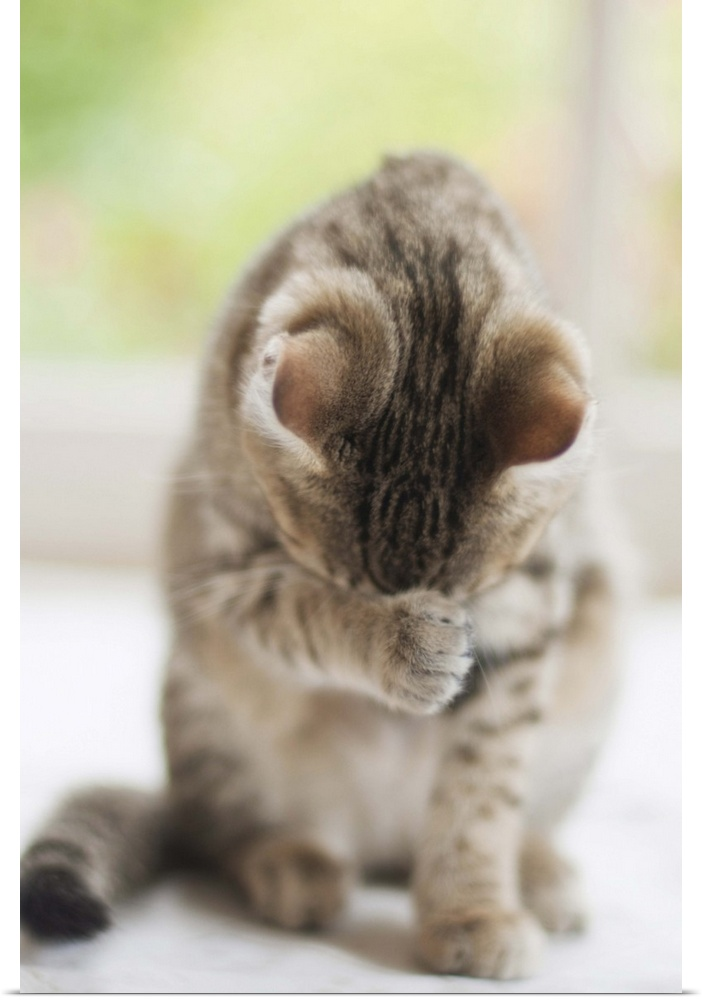 Poster Print Wall Art entitled Cute tabby kitten washing herself.