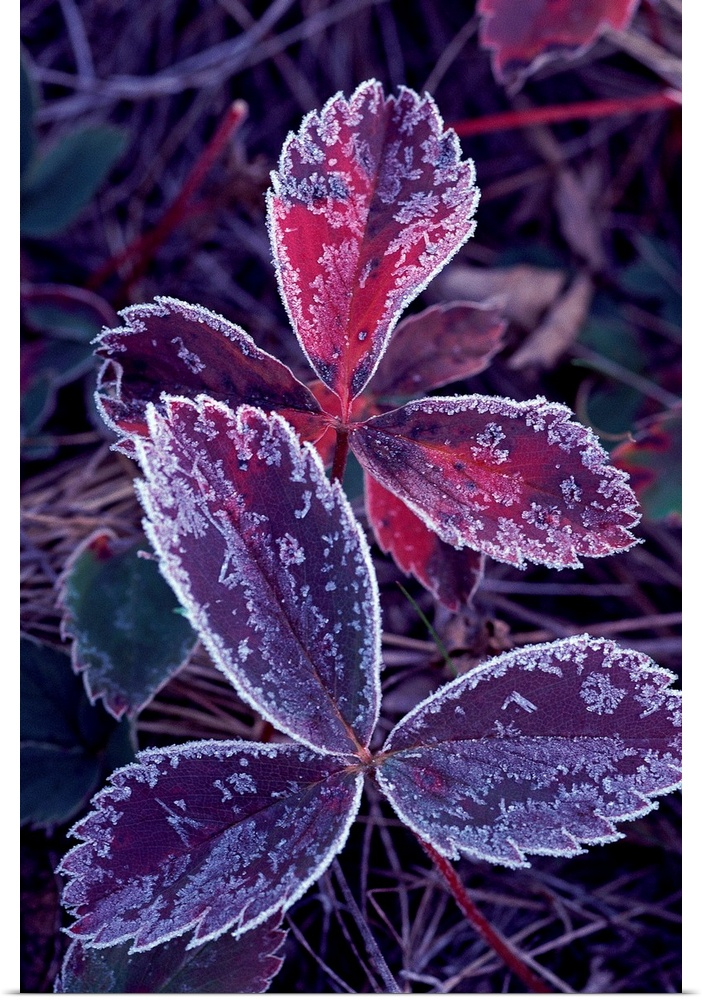 Poster Print Wall Art entitled Leaves with frost