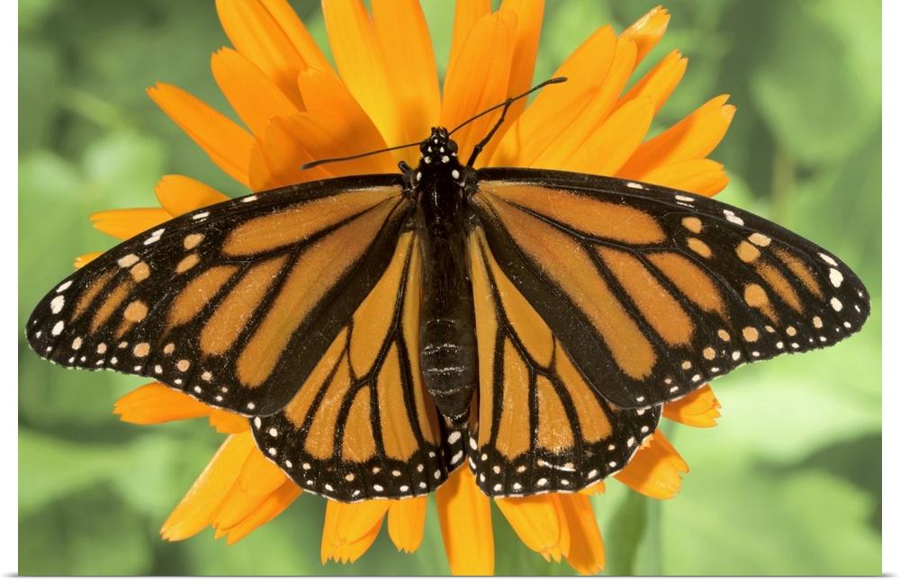 Poster Print Wall Art entitled Monarch butterfly (Danaus plexippus) on pot