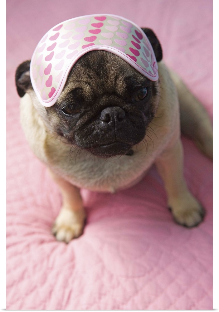 Poster Print Wall Art entitled Nap time for Pug puppy