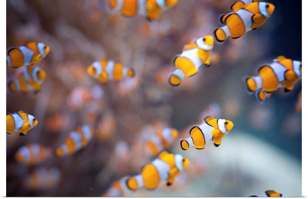 Poster Print Wall Art entitled arancia clown fish in water.