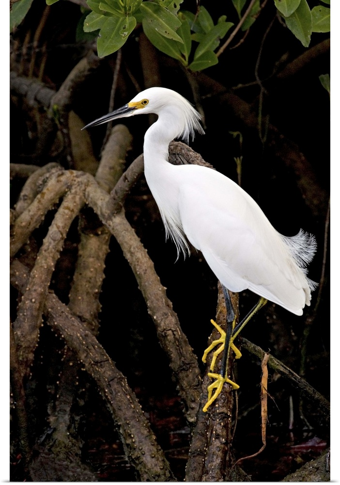 Poster Print Wall Art entitled Snowy Egret