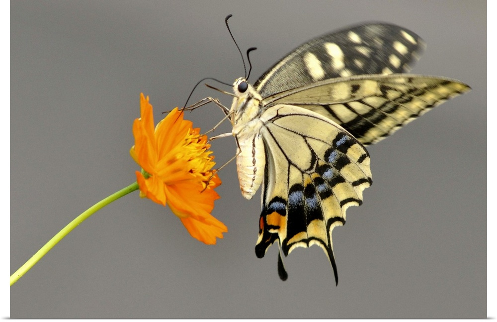 Poster Print Wall Art entitled Swallowtail butterfly on cosmos flower in japan.