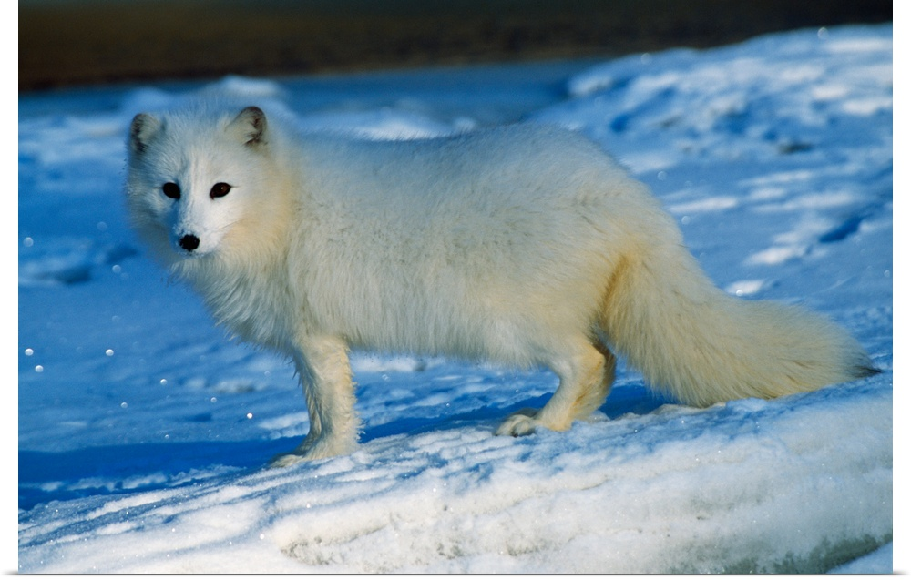 Poster Print Wall Art entitled Arctic fox standing in snow.