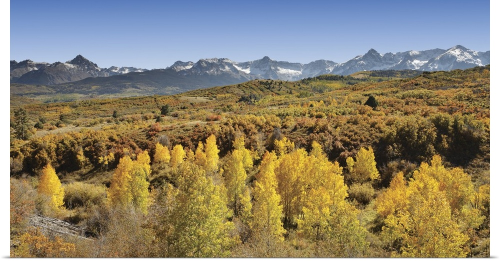 Poster Print Wall Art entitled Aspen trees in a forest with a mountain range in