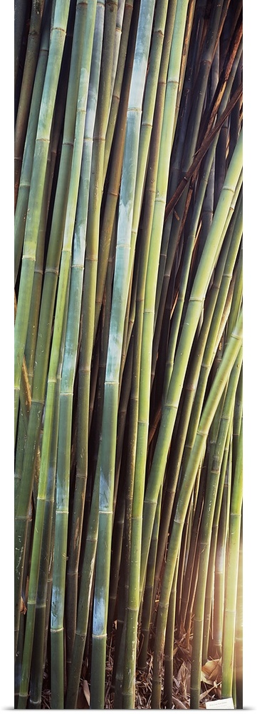 Poster Print Wall Art entitled Bamboo trees in a garden, Kanapaha Botanical