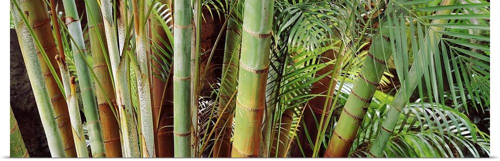 Poster Print Wall Art entitled Bamboo trees in a garden, Sunken Garden, St.