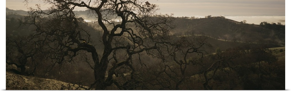Poster Print Wall Art entitled California, Henry W Coe State Park, Oak tree on a
