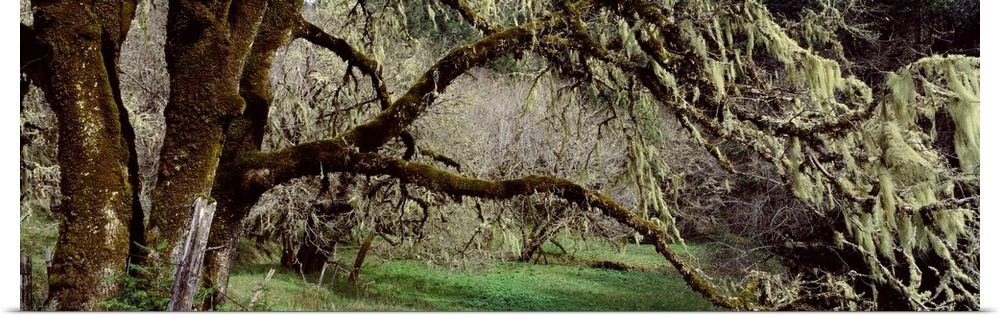 Poster Print Wall Art entitled Close-up of an oak tree, Humboldt County,