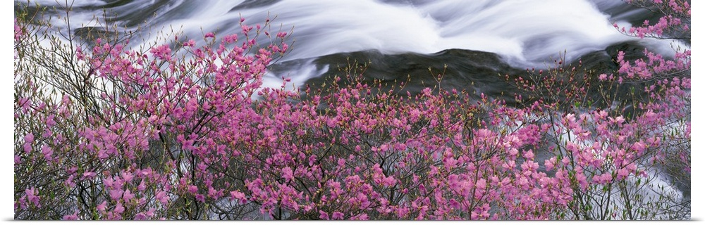 Poster Print Wall Art entitled Flowers along river Japan