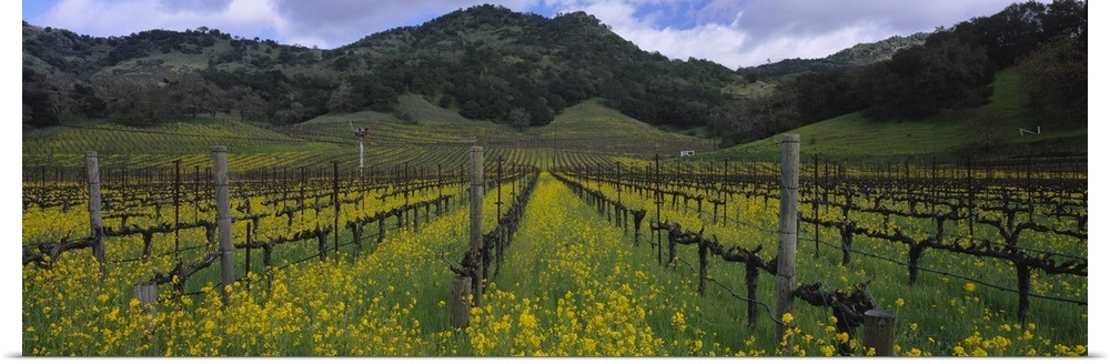 Poster Print Quot Mustard Plants Growing In A Vineyard Napa Valley Napa County Ca Ebay