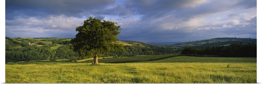 Poster Print Wall Art entitled Oak tree in a field Southwood farm Exe Valley