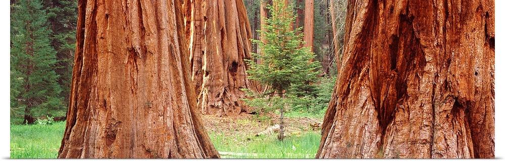 Poster Print Wall Art entitled Sapling among full grown Sequoias, Sequoia