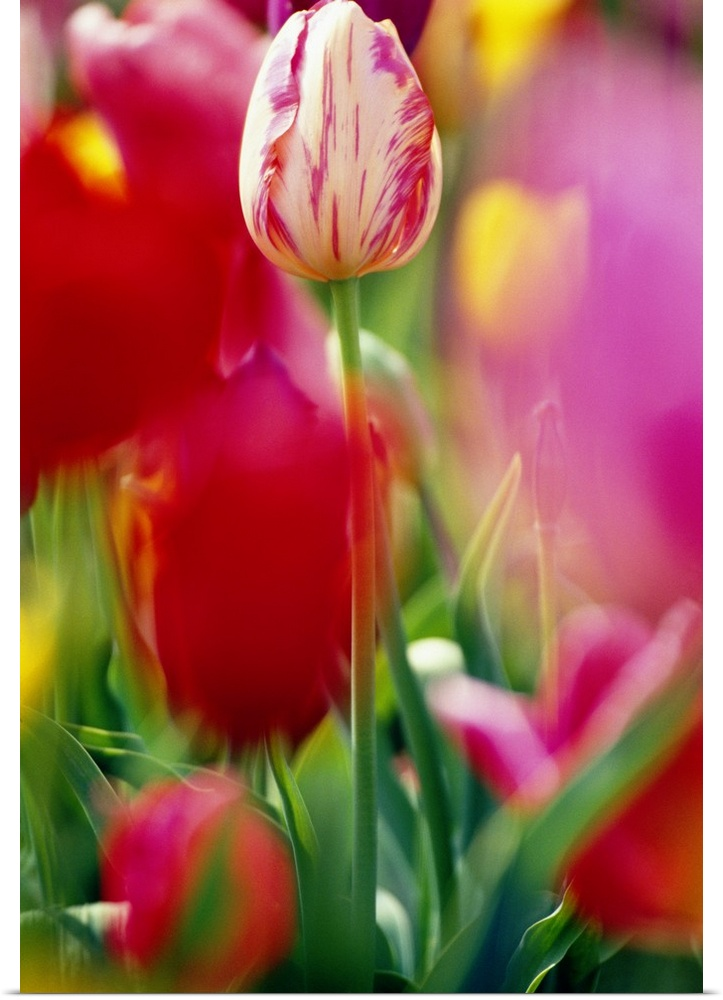 Poster Print Wall Art entitled Tulip Flowers In Bloom