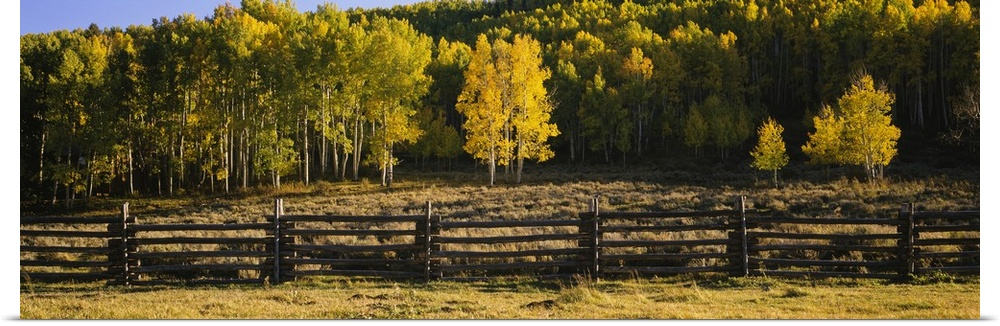 Poster Print Wall Art entitled Wooden fence and Aspen trees in a field,