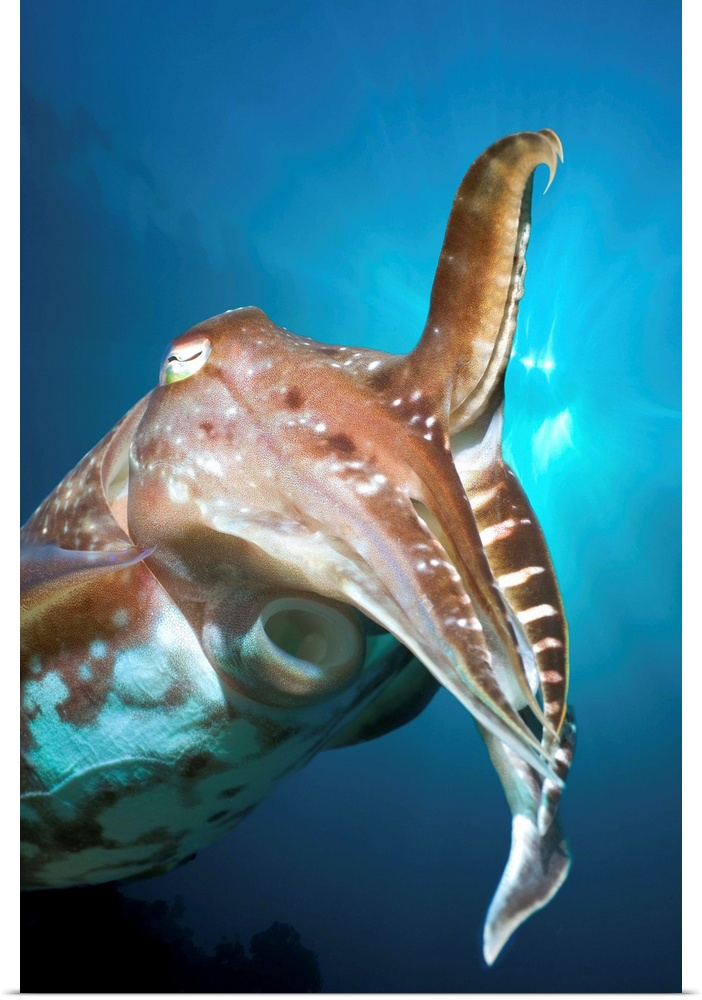 Poster Print Wall Art entitled Broadclub cuttlefish