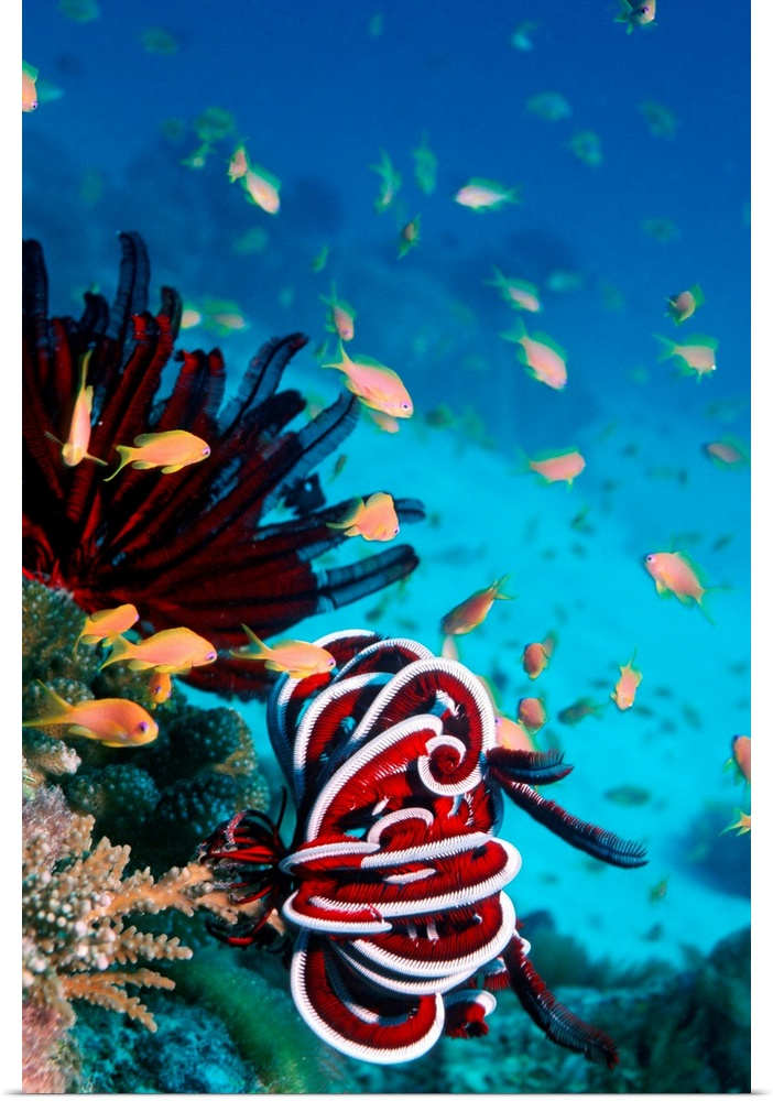 Poster Print Wall Art entitled Lyretail anthias and featherstar