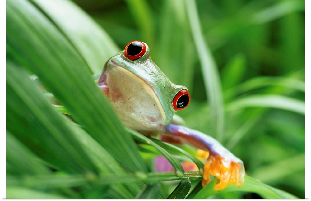 Poster Print Wall Art entitled rosso-eyed tree frog