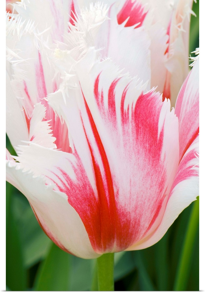 Poster Print Wall Art entitled Tulipa 'Carousel'