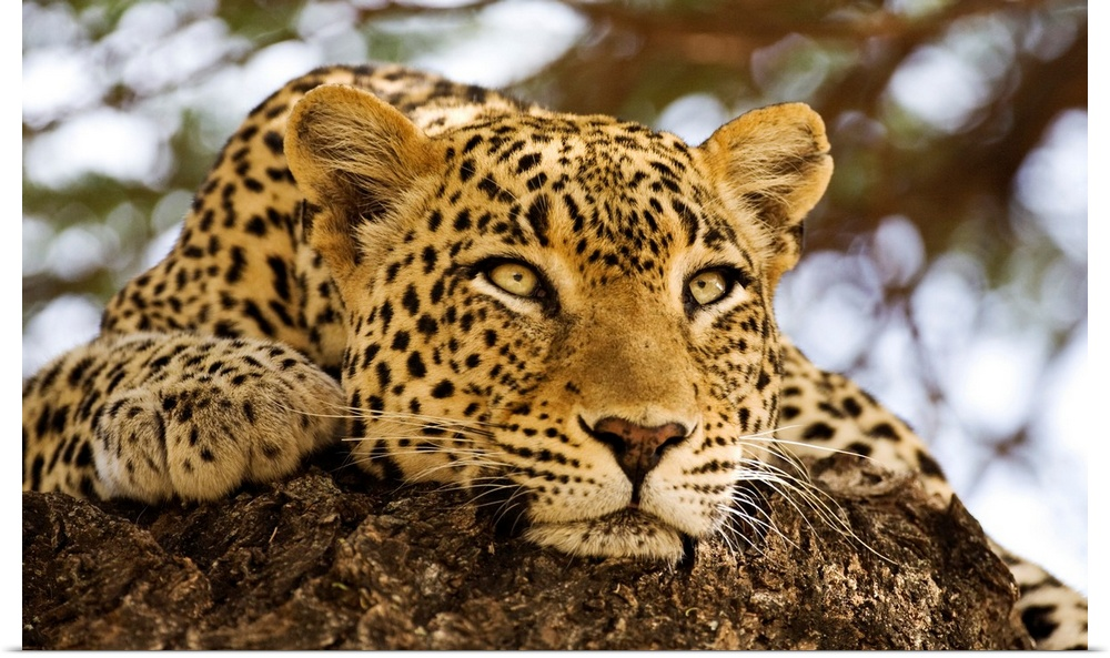 Poster Print Wall Art entitled African Leopards Glare