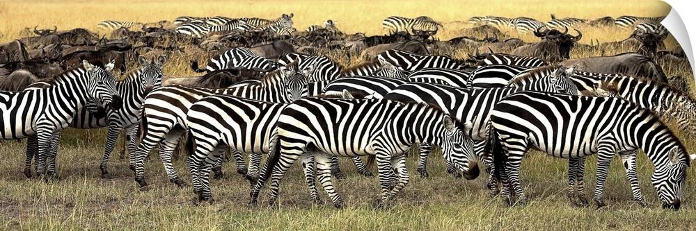 Wall Decal entitled Herd Of Burchell's Zebra And Wildebeest, Masai Mara, Kenya
