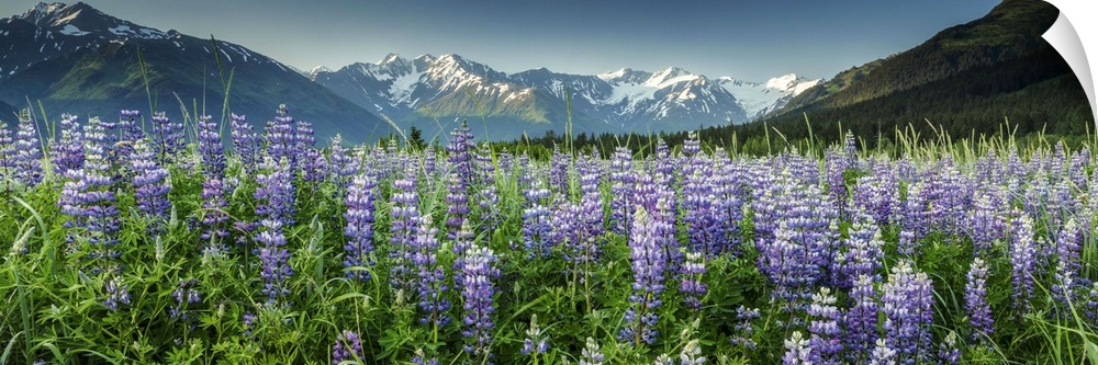 Wall Decal entitled Summer landscape of Lupine flowers along Turnagain Arm,