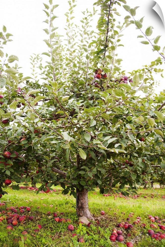 wand abziehbild entitled Apple tree with fallen fruit
